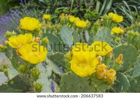 Cactus blooms Opuntia ficus-indica flower - stock photo