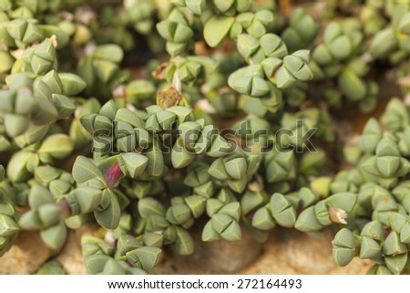 cactus, close up showing pattern texture of cactus and succulents garden - stock photo