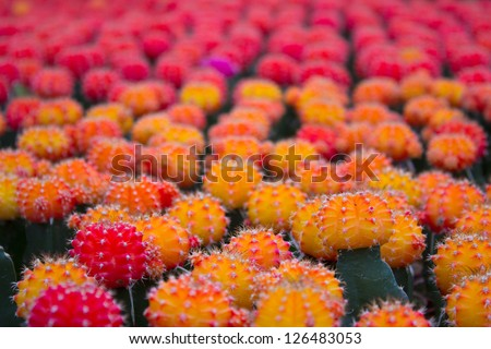 Cactus farm. Gymnocalycium cultivar (mihanovichii). Ball or moon cactus - stock photo