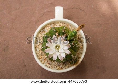 Cactus flower blooming on sandstone background, Gymnocalicium, s - stock photo
