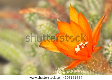 Cactus Flower Macro with Vivid Texture and Color - stock photo