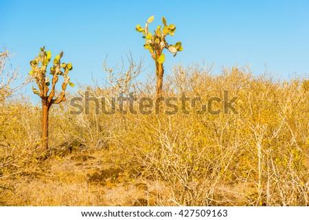 Cactus forest at Galapagos island of Santa Fe.  - stock photo