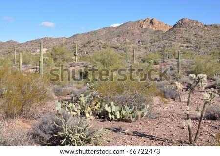 Cactus in the Desert in Arizona - stock photo