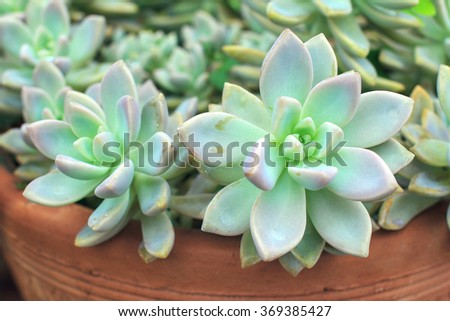 Cactus or succulents in clay pot. - stock photo