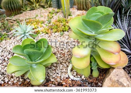 Cactus,Paddle plant,Crassulaceae Kalanchoe thyrsiflora,Desert cabbage - stock photo
