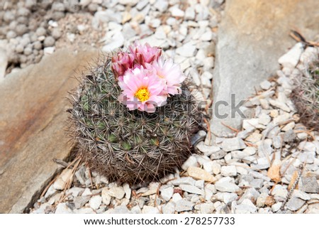 Cactus with pink beautiful flower on the dry ground and stones. - stock photo