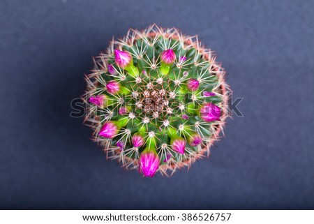Cactus with pink flowers on a blue background, the top view. Close up, small depth of sharpness - stock photo