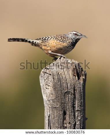 Cactus Wren - Guadalupe Mountains National Park - stock photo