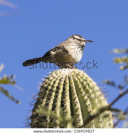 Cactus Wren on Saguaro Cactus - stock photo