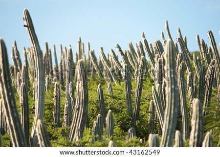 cactuses - stock photo