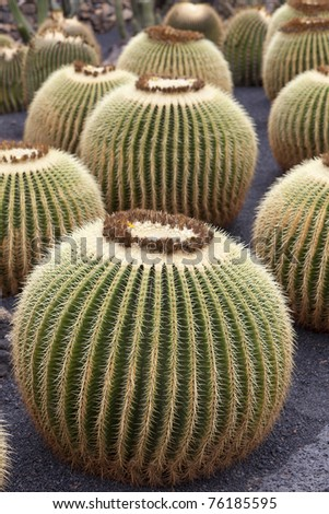 cactuses in a tropical garden in Lanzarote.( museo de cactuses ) Lanzarote a Spanish island, is one of the Canary Islands, in the Atlantic Ocean, appr. 125 km off the coast of Africa. - stock photo