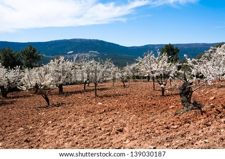 Caderechas valley with cherry blossoms, Castile-Leon (Spain) - stock photo
