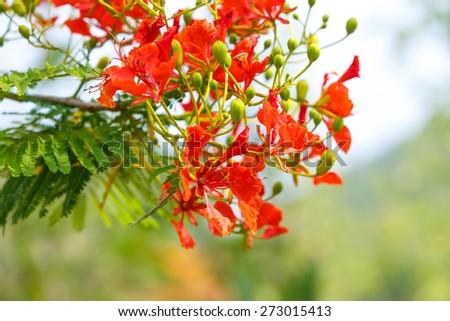 Caesalpinia pulcherrima flower - stock photo