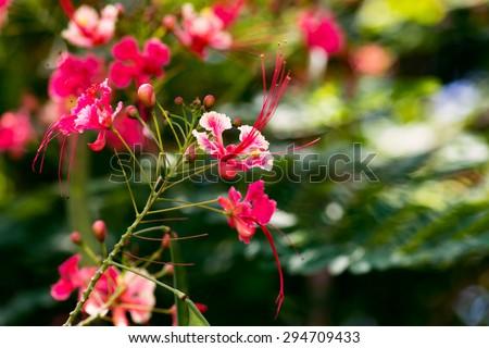 Caesalpinia pulcherrima red bird of paradise flower close up Tobago - stock photo