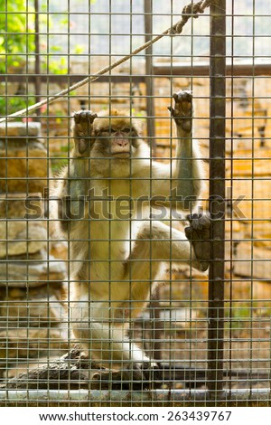 Caged Monkey with sad looking, Long Tailed Macaque - stock photo