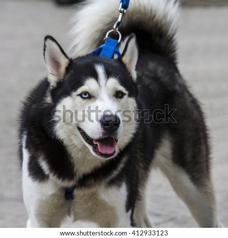 """CAGLIARI, ITALY - March 6, 2016; canine fashion show """"to the entire paw"""" at Exma - Portrait of aski dog breed - stock photo"""