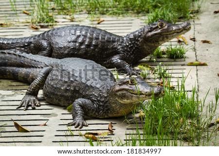 Caiman (Caiman crocodilus), - stock photo