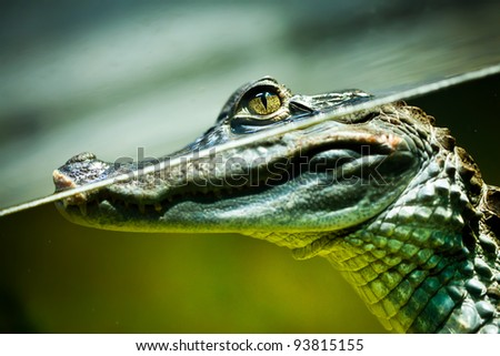 Caiman crocodilus in water ... - stock photo