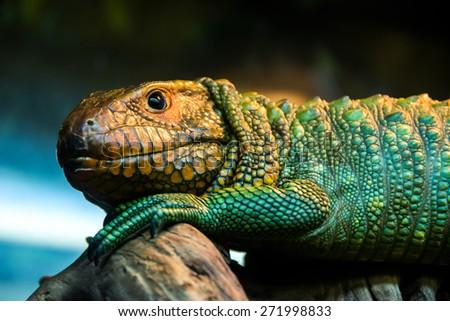 caiman lizard - stock photo