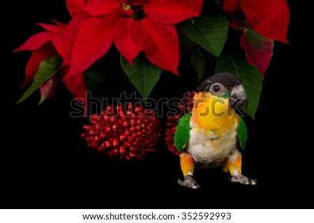 Caique (black-headed noble parrot) against a black background in Christmas setting  - stock photo