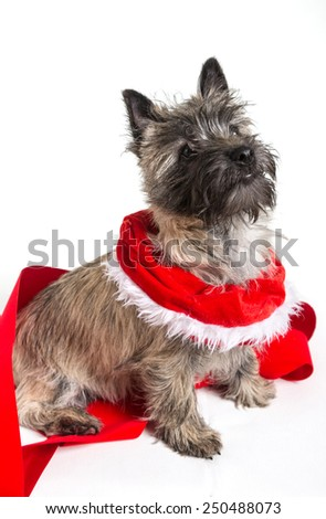Cairn terrier dressed for Christmas. - stock photo