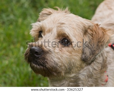 Cairn Terrier Mix in profile outdoors with a grassy background. - stock photo