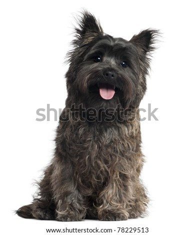 Cairn Terrier, 8 months old, sitting in front of white background - stock photo
