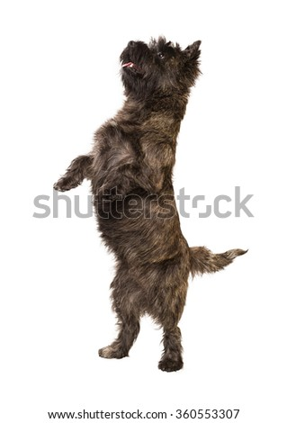 Cairn Terrier standing on two legs - stock photo