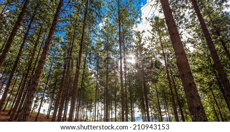 CAJAMARCA, PERU: Young Pines trees at the afternoon in  Porcon farm near Cajamarca. - stock photo