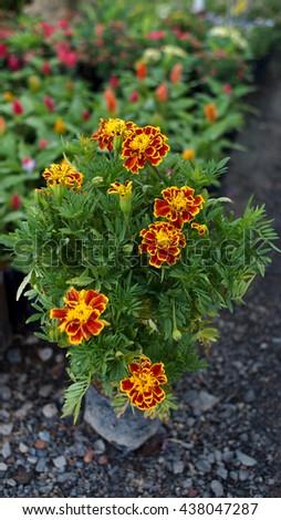 Calendula Blooms - stock photo