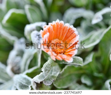 calendula covered with hoarfrost after the first morning frost  - stock photo