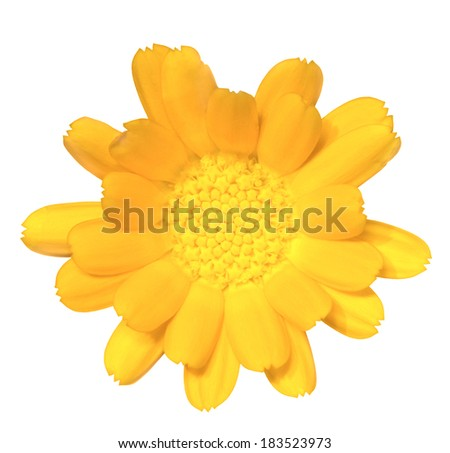 Calendula. Deep focus. No dust. No pollen. Isolated on white background.  - stock photo