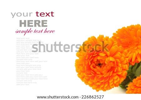 Calendula flower isolated on white  - stock photo