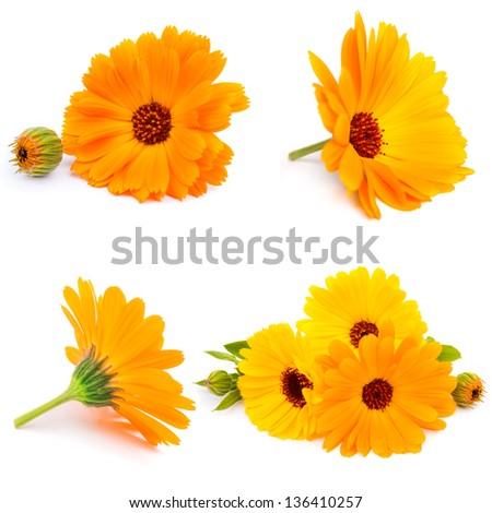 Calendula flowers isolated on white - stock photo