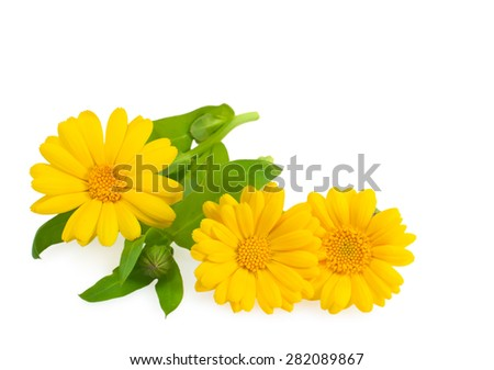 Calendula flowers with leaves close up isolated on white. - stock photo