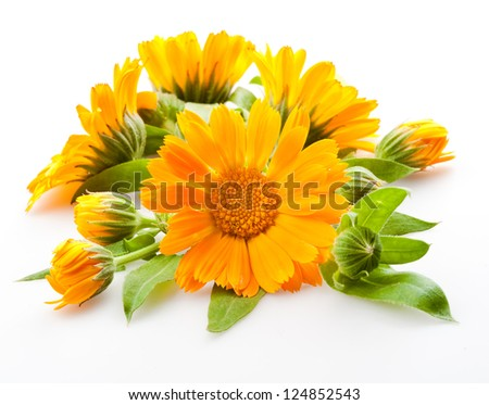 Calendula. flowers with leaves isolated on white - stock photo