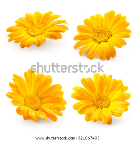 Calendula. Marigold flower isolated on white. Collection. - stock photo