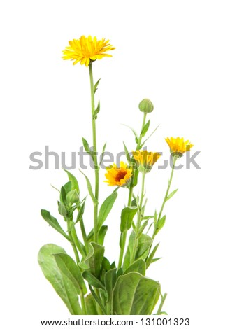 calendula, marigold isolated on white - stock photo