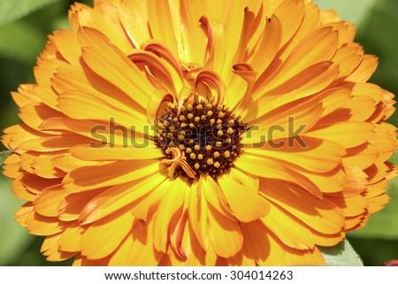 Calendula officinalis, Pot Marigold, Common marigold, English marigold, ornamental flower in summer - stock photo