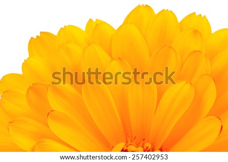 Calendula Officinalis (Pot Marigold) Petals Close-Up on White Background - stock photo