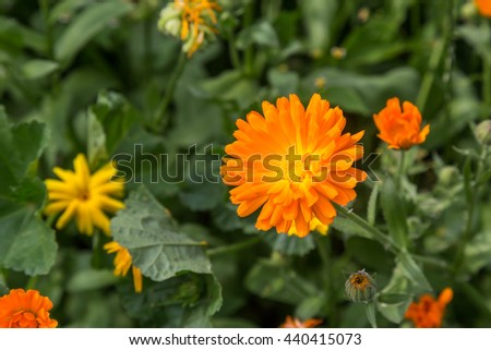 Calendula oficinalis blooming on a sunny day field. Focus on a single flower. Medical herb series. - stock photo
