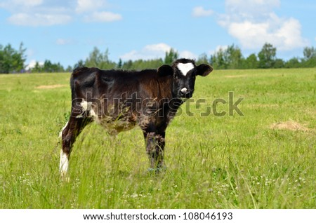 calf at the green field against blue sky - stock photo