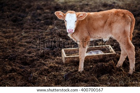 Calf in middle of feedlot manure, next to tub for water. - stock photo