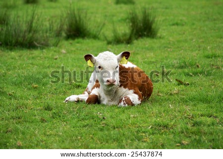 Calf resting in meadow. - stock photo