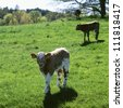Calf standing in meadow - stock photo