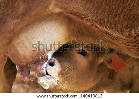 calf suckling - stock photo