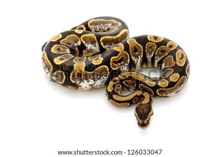 calico ball python (Python regius) isolated on white background. - stock photo