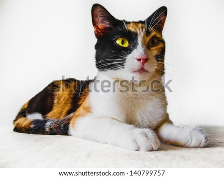 Calico breed cat of strange colors - stock photo