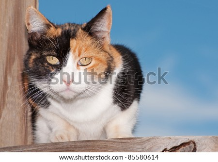 Calico cat on wooden porch, looking intently at the viewer - stock photo