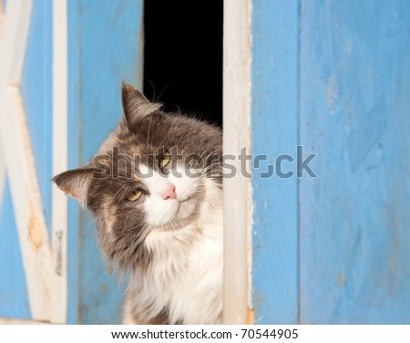 Calico cat peeking out of a blue barn - stock photo